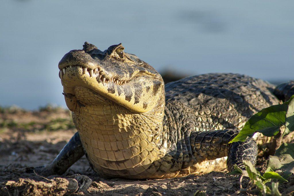 coccodrillo Brasile dove
