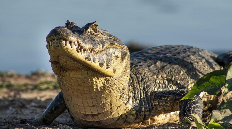 coccodrilli brasiliani dove