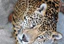 dove vedere giaguaro Brasile